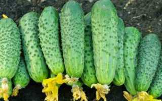 Сорт огурцов Пучковая Семейка f1: основные характеристики и важные правила выращивания