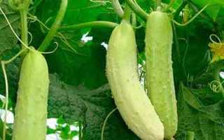 Огурец Белый дракон f1 – гибридный сорт от агрофирмы «Поиск» с невероятно изысканным вкусом