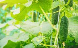 Огурец Суперклуша F1 – высокоурожайный, вкусный и ароматный сорт