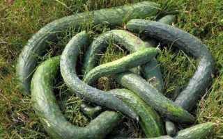 Огурцы Китайский змей — характеристика и правила выращивания сорта