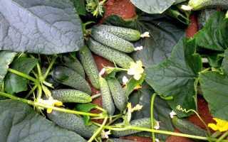 Гибридный и плодовитый сорт – огурец Муссон f1: характеристика и рекомендации культивирования