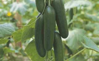 Огурцы Пиколино f1: описание сорта, правила выращивания, отзывы огородников