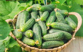 Огурец Маленькая страна f1 – партенокарпический сорт, обладающий аккуратными небольшими плодами