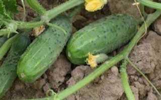 Огурцы Арлекино f1: описание сорта, правила выращивания, фото и отзывы огородников