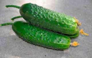 Огурцы Сарацин F1 — характеристика и правила выращивания сорта