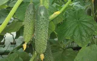 Огурцы Дончак f1: характеристика, правила выращивания, отзывы садоводов