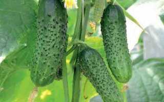 Огурец Барвина f1: характеристика и важные правила выращивания
