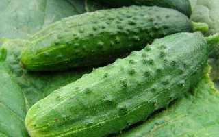 Огурец сорт Гепард f1: описание, правила выращивания и отзывы огородников