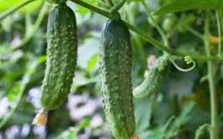 Огурцы Миг: характеристика, правила выращивания, отзывы садоводов