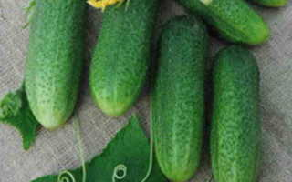 Огурцы Доломит f1 – первоклассный гибрид от Голландских селекционеров