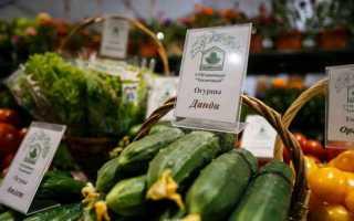 Огурец Данди f1 – теневыносливый партенокарпический гибрид со средними бугорчатыми плодами