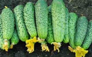 Огурцы Веселая семейка f1 – превосходный партенокарпический сорт: характеристика и рекомендации выращивания