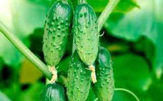 Огурец Веселая компания f1 – сорт, корнишоны которого обладает безупречным видом и вкусом