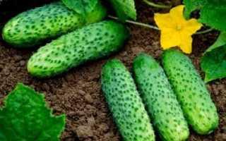 Огурец Машенька F1: характеристика, правила выращивания, советы садоводов