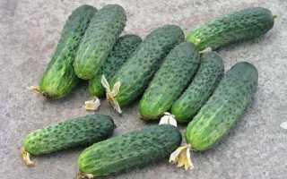 Огурцы Афина f1 – раннеспелый сорт с отличными высокими показателями и высокой продуктивностью