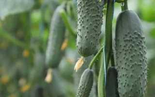 Огурец КS 70 F1 — характеристика и особенности выращивания сорта