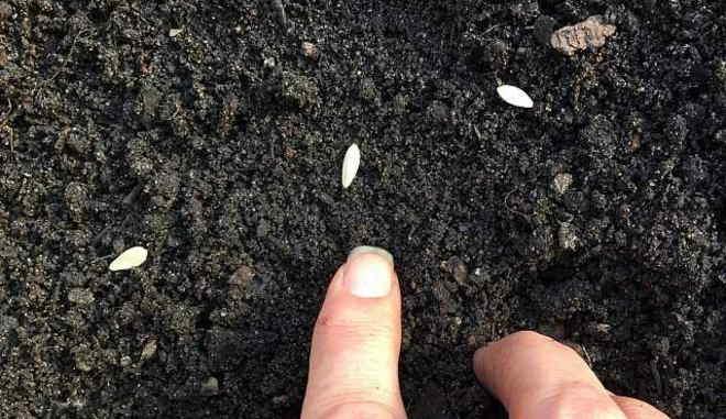 Высадка семян огурцов
