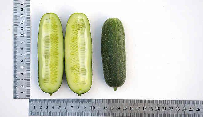 Размеры огурцов Хоббит