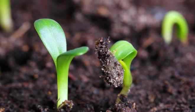 Семена огурцов