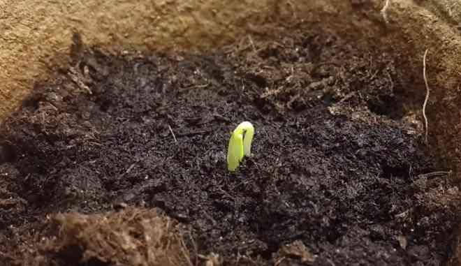 Высаживание семян огурцов