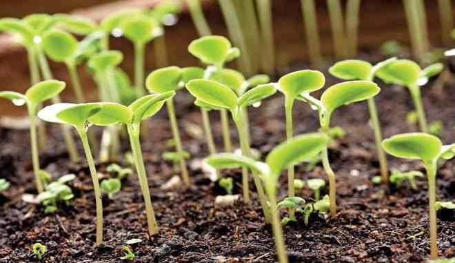 Проращивание рассады огурцов