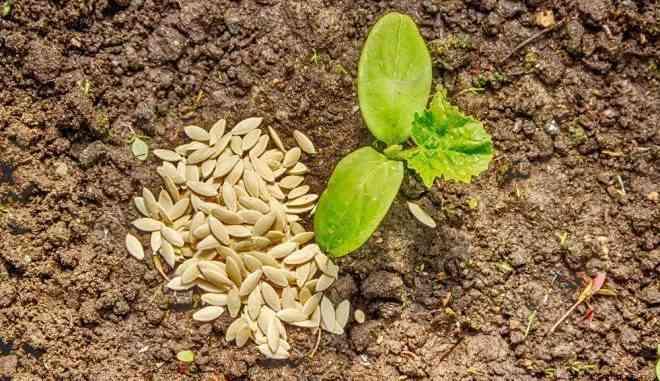 Семена огурцов Стелла
