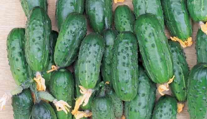 Урожай огурцов Будь Здоров f1