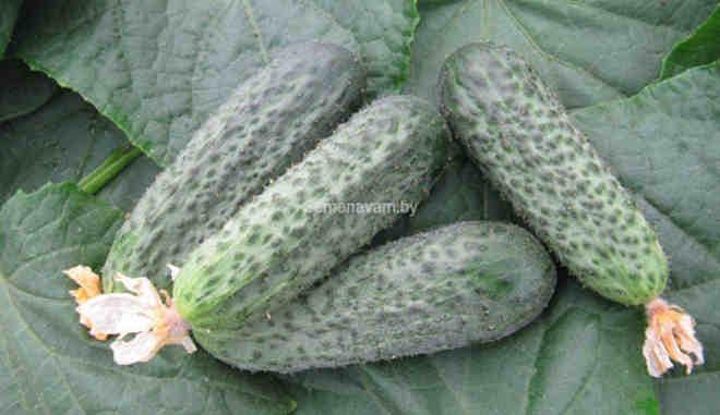 Урожай огурцов Пилигрим