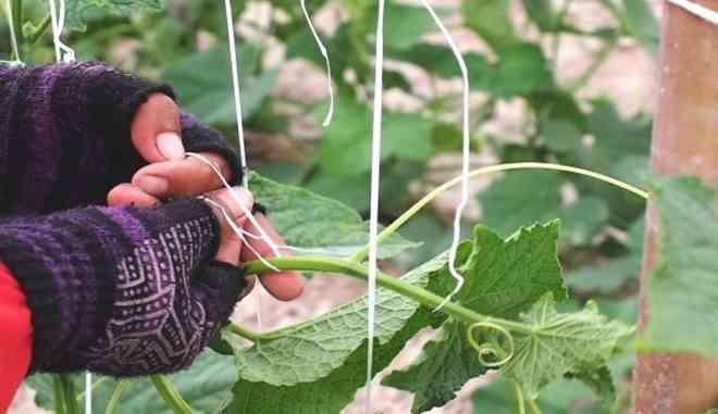 Подвязка кустов огурцов