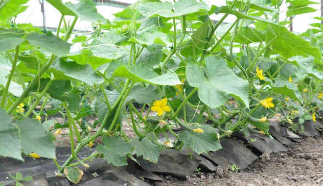 Выращивание сорта