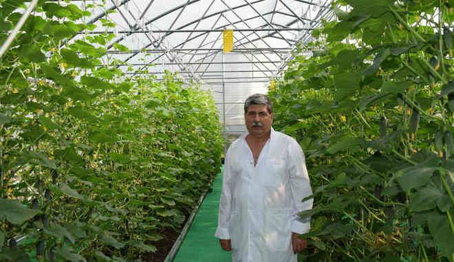 Советы по сбору и хранения урожая огурцов