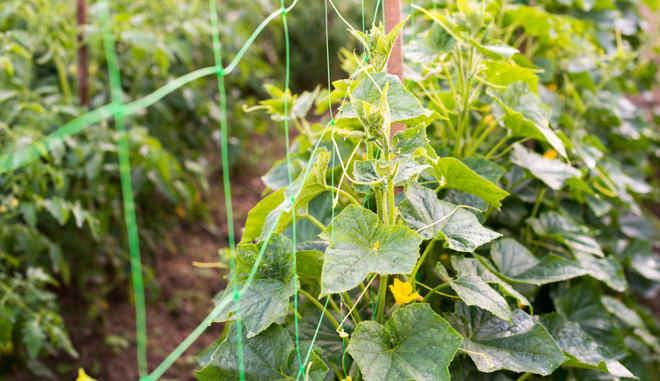 Правила выращивания огурцов