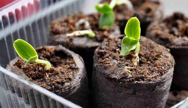 Проращивание семян огурцов в торфяных горшках