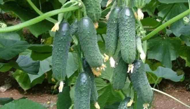 Урожай огурцов Верность