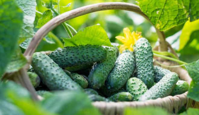Урожай огурцов Кайман