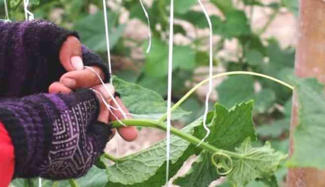 Подвязка кустиков огурцов