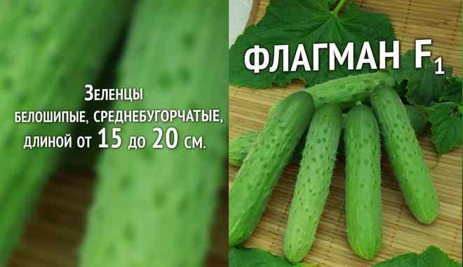 Сорт огурцов Флагман
