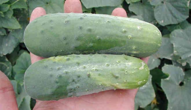 Урожай огурцов Соната