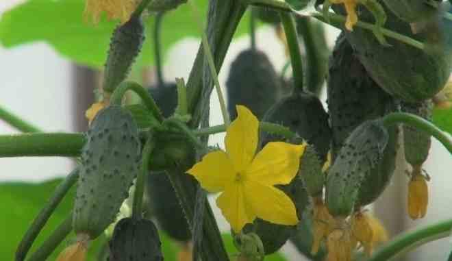 Цветение огурцов Колибри