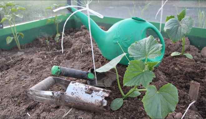 Высаживание рассады огурцов