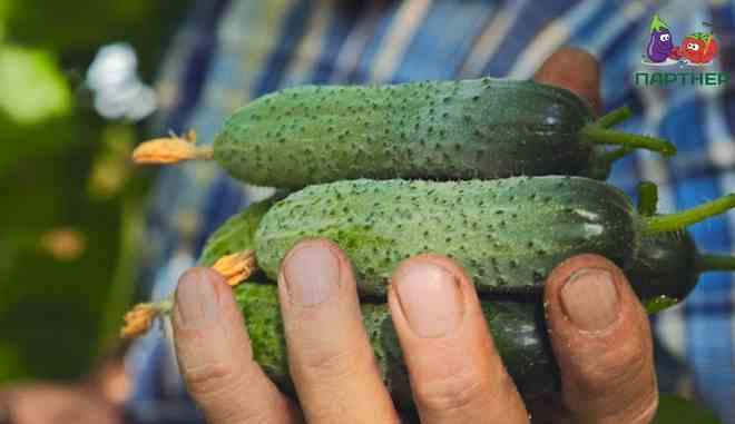 Урожай огурцов Дончак