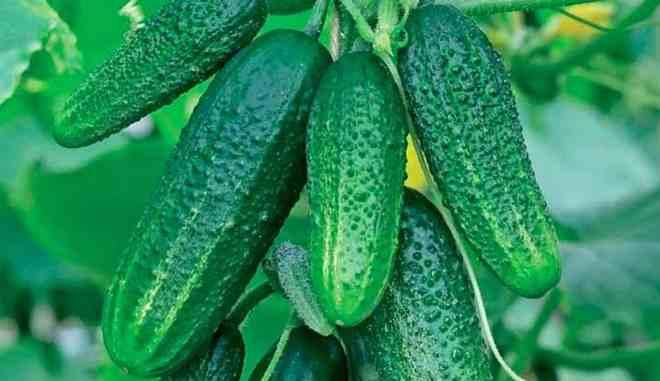 Урожай огурцов Настя на счастье